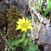 Arnica lanceolata - Photo (c) chalcenterous, todos los derechos reservados, uploaded by Alex Wright