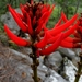 Erythrina sierra - Photo (c) Lex García, todos los derechos reservados