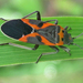 Small Milkweed Bug - Photo (c) larry522, all rights reserved, uploaded by Larry Clarfeld