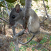 Eastern Woodrat - Photo (c) U.S. Fish and Wildlife Service Southeast Region, some rights reserved (CC BY)