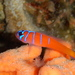 Blue-banded Goby - Photo (c) Jeff Stauffer, all rights reserved