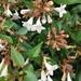 Linnaea × grandiflora - Photo (c) Annie Morton, todos los derechos reservados