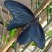 Papilio protenor - Photo (c) Jessica Dickson, όλα τα δικαιώματα διατηρούνται