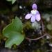 Ivy-leaved Toadflax - Photo (c) Leonard Worthington, all rights reserved