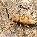 Red Oak Borer - Photo (c) John and Kendra Abbott, all rights reserved, uploaded by John Abbott