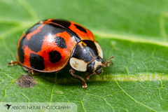 Asian Lady Beetle - Photo (c) John and Kendra Abbott, all rights reserved, uploaded by John Abbott