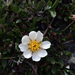 Hooker's Eight-petal Mountain-Avens - Photo (c) Stephanie Zorio, all rights reserved