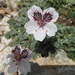 Erodium - Photo (c) torwart, todos los derechos reservados, uploaded by Thorhold Souilljee