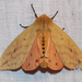 Isabella Tiger Moth - Photo (c) Larry Clarfeld, all rights reserved