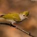 Erpornis zantholeuca - Photo (c) Vipul Ramanuj, todos los derechos reservados