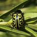 Calligrapha serpentina - Photo (c) manuelbasurto, todos os direitos reservados