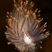 Antiopella fusca - Photo (c) Minette Layne, todos los derechos reservados