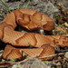 Copperhead - Photo (c) Peter Paplanus, some rights reserved (CC BY)