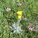 Hieracium villosum - Photo (c) paolapalazzolo, כל הזכויות שמורות