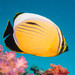 Exquisite Butterflyfish - Photo (c) Lesley Clements, all rights reserved