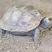Tortuga de Monte Payaso Oriental - Photo (c) Jon Church, todos los derechos reservados