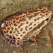 Spotted Narrow-mouthed Frog - Photo (c) cowyeow, all rights reserved, uploaded by Daniel Rosenberg