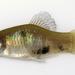 Xiphophorus maculatus - Photo (c) Michael Tobler, todos os direitos reservados