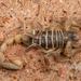 Paruroctonus boreus - Photo (c) Alice Abela, todos los derechos reservados
