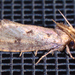 Clemens' Grass Tubeworm Moth - Photo (c) treichard, all rights reserved, uploaded by Timothy Reichard