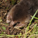 Mogera Asian Moles - Photo (c) pintail, all rights reserved, uploaded by Kim, Hyun-tae
