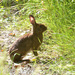 Snowshoe Hare - Photo (c) Mike Patterson, all rights reserved