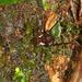 Ventripila marginata - Photo (c) Martin Mandák, todos os direitos reservados