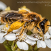 Nesocolletes fulvescens - Photo (c) Danilo Hegg, all rights reserved
