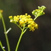 Linear-leaved Australian Fireweed - Photo (c) microm, all rights reserved, uploaded by Michele Roman