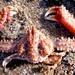 Parthenopidae - Photo (c) Nicole Vandenbroele, todos los derechos reservados