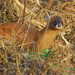 Siberian Weasel - Photo (c) pintail, all rights reserved, uploaded by Kim, Hyun-tae