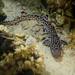 Atelomycterus marmoratus - Photo (c) Crystle Wee, todos los derechos reservados