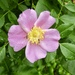 Carolina Rose - Photo (c) Carl Houck, all rights reserved