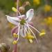 Chlorogalum parviflorum - Photo (c) Jim Roberts, todos los derechos reservados