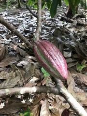 Theobroma cacao image