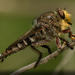 Giant Robber Flies - Photo (c) Brian Gooding, all rights reserved