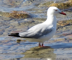 Silver Gull - Photo (c) Len Dean, all rights reserved