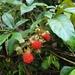 Rubus cochinchinensis - Photo (c) Tuyen Van Pham, todos los derechos reservados