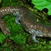 Streamside Salamander - Photo (c) mikeygraz, all rights reserved, uploaded by Michael Graziano