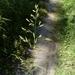 Lolium pratense - Photo (c) Дина Абдуллина, כל הזכויות שמורות