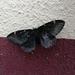 Paradirphia fumosa - Photo (c) Benjamin de la Cruz, all rights reserved