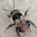 Bombus vancouverensis nearcticus - Photo (c) Mike Tidwell, todos los derechos reservados