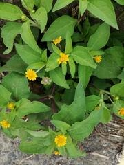 Melampodium divaricatum image
