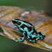 Green-and-black Poison Dart Frog - Photo (c) Angelica Cesar, all rights reserved