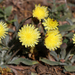 Hawkweeds - Photo (c) Ingeborg van Leeuwen, all rights reserved, uploaded by wildchroma