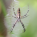 Garden Orbweavers - Photo (c) James W. Beck, all rights reserved