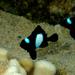 Dascyllus albisella - Photo (c) Laronna Doggett, todos los derechos reservados