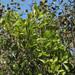 Gymnanthes lucida - Photo (c) Alfredo Dorantes Euan, todos los derechos reservados