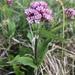 Valeriana montana - Photo (c) capepolly, todos los derechos reservados