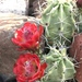 Kingcup Cactus - Photo (c) stinglessbee, some rights reserved (CC BY)